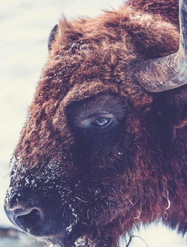 Lámina Búfalo