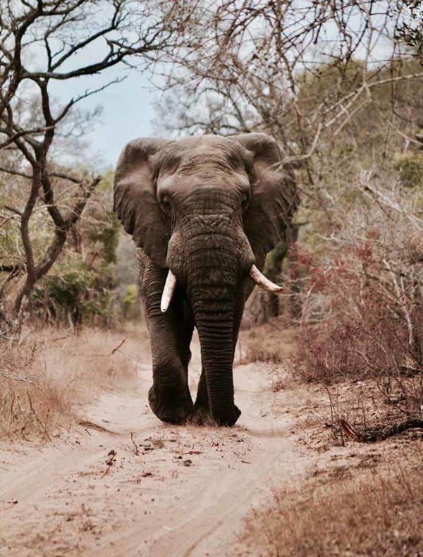 Lámina Elefante Safari