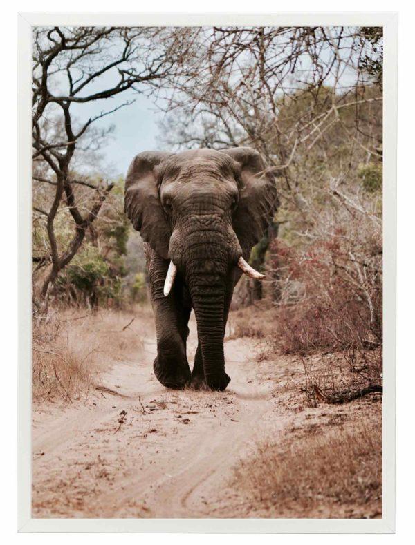 Lámina Elefante Safari Marco Blanco
