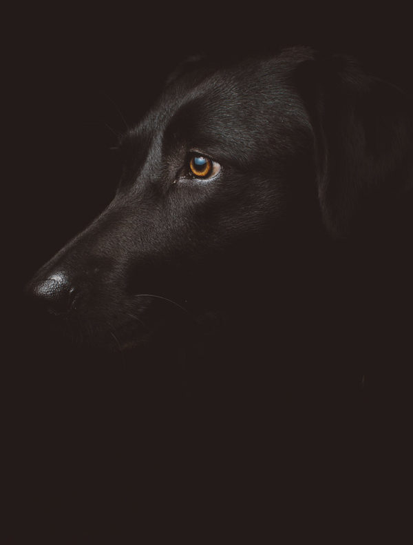Lámina Perro Negro