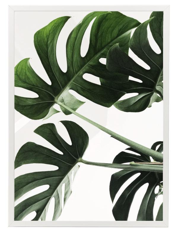 Lámina Planta Monstera con marco blanco