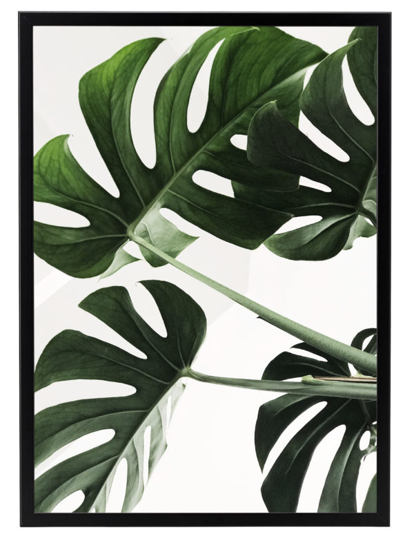 Lámina Planta Monstera con marco negro