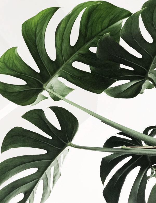 Lámina Planta Monstera sin marco