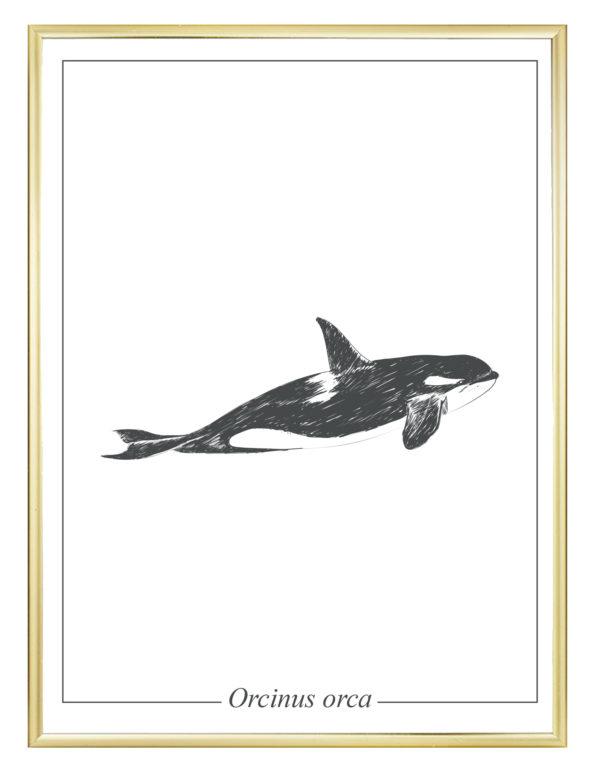 Lámina decorativa Ilustración Orca con marco dorado