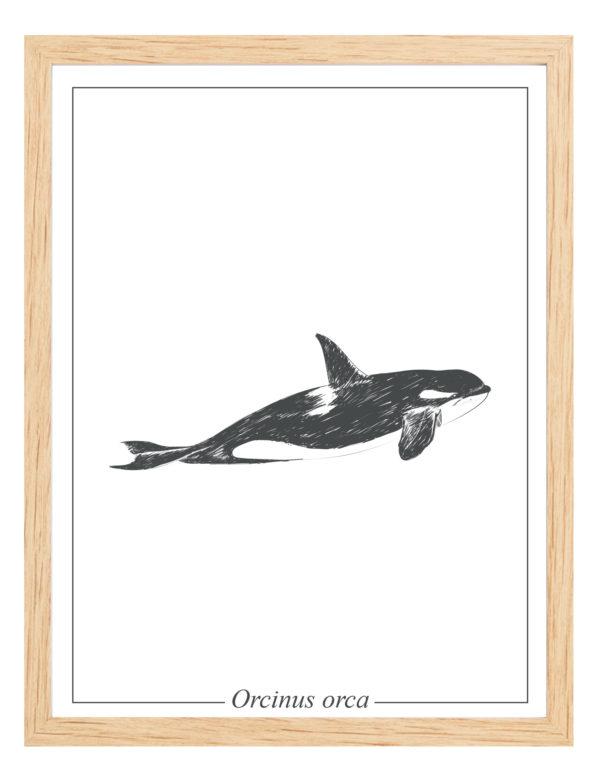Lámina decorativa Ilustración Orca con marco madera
