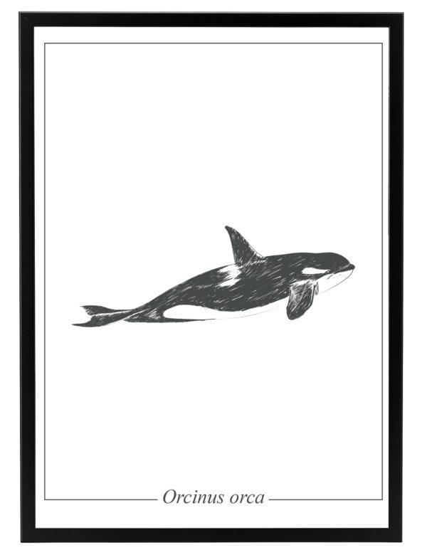 Lámina decorativa Ilustración Orca con marco negro