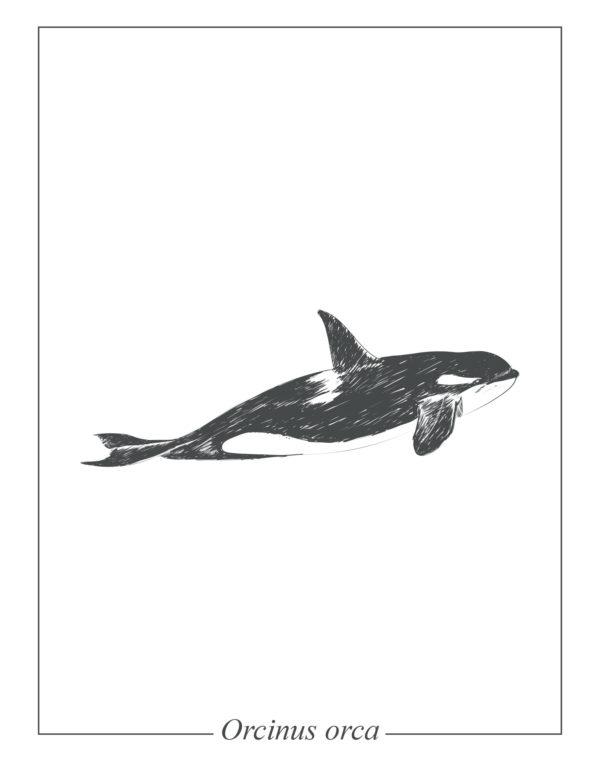 Lámina decorativa Ilustración Orca sin marco